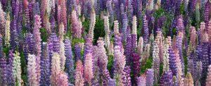 lupins queenstown