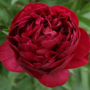 peony wanaka queenstown flower grower