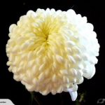 chrysanthemum available wanaka queenstown autumn