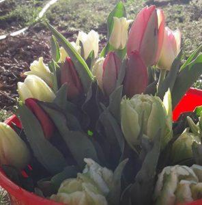 tulips queenstown wanaka bucket