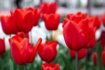 london tulip