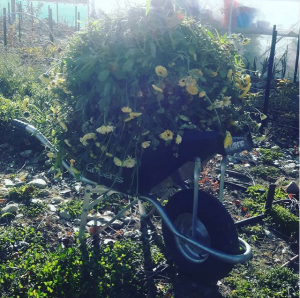 weeding chrysanthemums