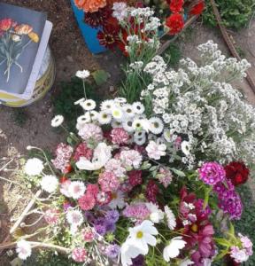 cornflowers wanaka