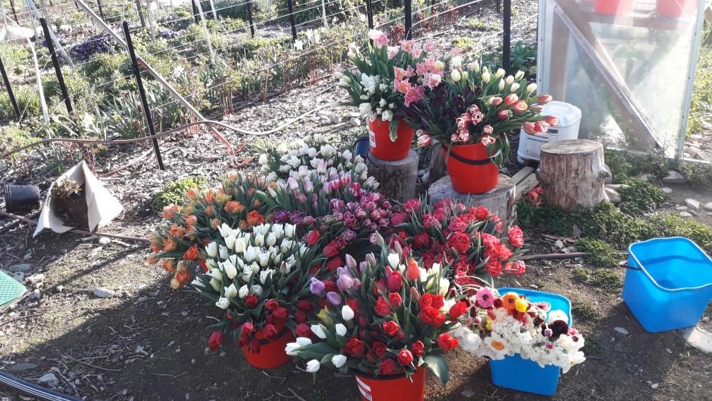 tulips wanaka