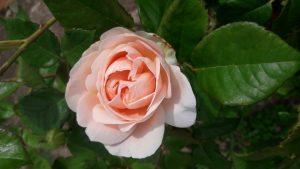 rose grower wanaka